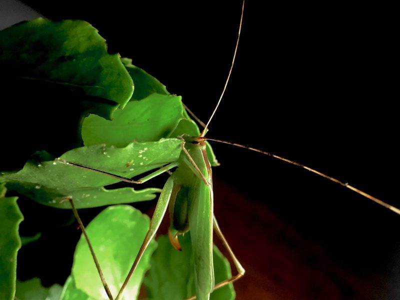 Tettigoniidae - Property of the American Entomological Society